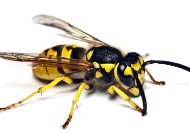 how-to-get-rid-of-wasps